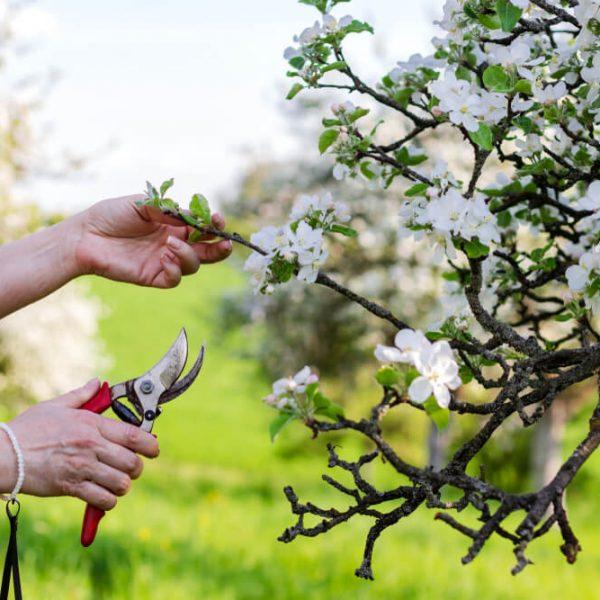 Strihanie jabloní Bratislava Krásna Záhrada