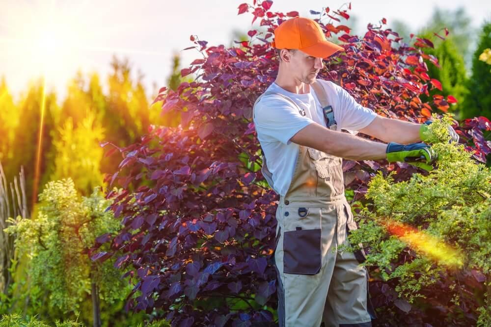 Strihanie kríkov na jeseň či jar Krásna Záhrada