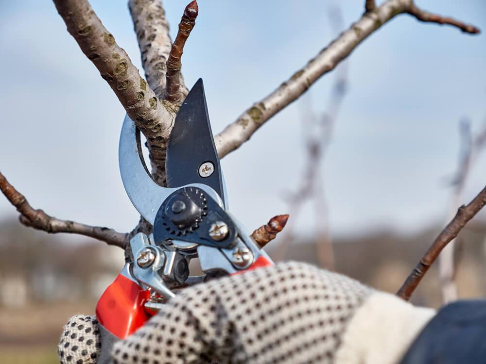Strihanie sliviek v zime Bratislava Krásna Záhrada
