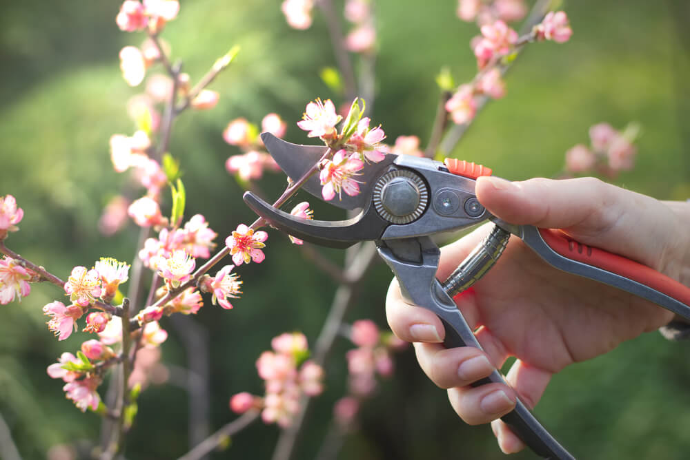 Strihanie višne (strihanie čerešne) Krásna Záhrada